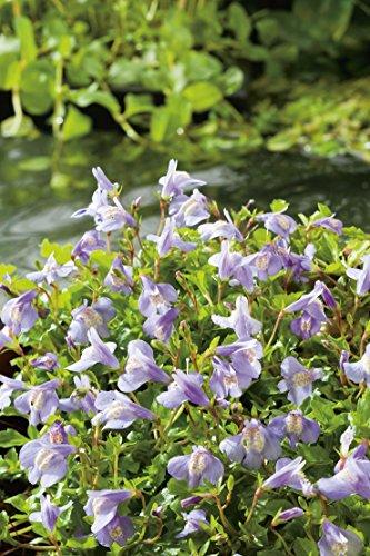 Blaues Lippenmäulchen (Mazus Reptans) Bodendecker im Topf - ganzjährig, violett-lila, winterhart, teppichbildend - Staude von Garten Schlüter - Pflanzen in Top Qualität