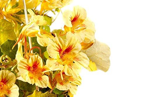 Capucine Alaska Saumon Orange Graines - Tropaeolaceae Var. Nain