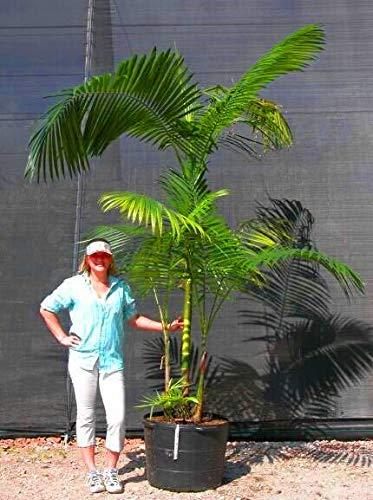 Pinkdose Vente chaude 10pcs Palmier ornement de jardin perenial Trachycarpus fortunei Bonsai plante la plus extérieure des plantes à feuilles persistantes