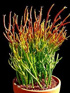 Best pencil stick plant Reviews