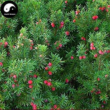 ASTONISH SEEDS: Comprar semillas del árbol Taxus 30pcs planta de tejo Hong Dou Shan