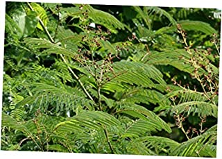 CJI 5 Seeds Acacia pennata CHA-OM Edible Levaes - RK27