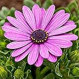 facile da coltivare,i semi di fiori di gerbera fioriscono 20 capsule in confezioni da quattro stagioni-w14_5