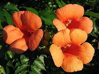 25 Orange HUMMINGBIRD TRUMPET CREEPER Campsis Radicans Vine Flower Seeds by Seedville