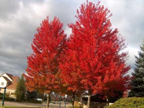 Acero Rosso, Acer rubrum, 100 semi di albero (Fall Color, Fast, Hardy)