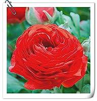 ラナンキュラスの花の球根/抵抗力のあるエキゾチックプリティ/ガーデニングバルコニー鉢植え/多年生の見事な-赤,3球根