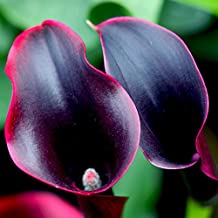 Rare Flower Seeds Seeds Plant Hot Sale Rare Red Edge Black Calla Balcony Potted Patio Plant Calla 120PCS