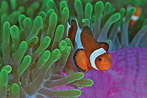 Pyramid International' Clownfish and Anemones Maxi Poster, Plastic/Glass, Multi-Colour, 61 x 91.5 x 1.3 cm