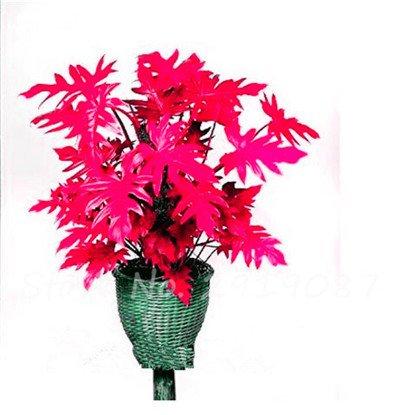 De nouvelles semences 100 Pcs Mixed Philodendron Graines couleur parfaite Plantes d'intérieur Anti radiations Absorber arbre poussière Jardinerie Bonsai 15
