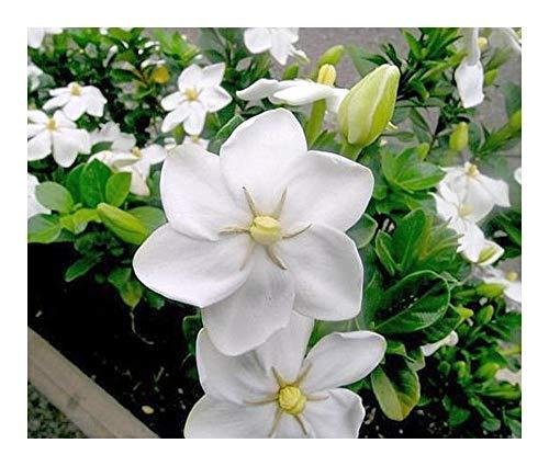 Gardenia thunbergia - Afrikanische Wald-Gardenie - 10 Samen