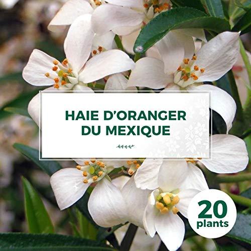 20 Oranger Du Mexique (choisya Ternata) - Haie De Oranger Du Mexique