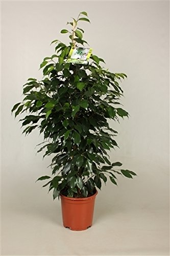 Birkenfeige (Ficus benjamini), verschiedene Ficus Sorten, ca. 110cm hoch, pflegeleichte Zimmerpflanze (Danielle - dunkelgrün)