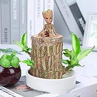 ブラジルの木水耕植物ラッキーウッド鉢植え、屋内水耕テーブルグルート水耕植物は芽なしです