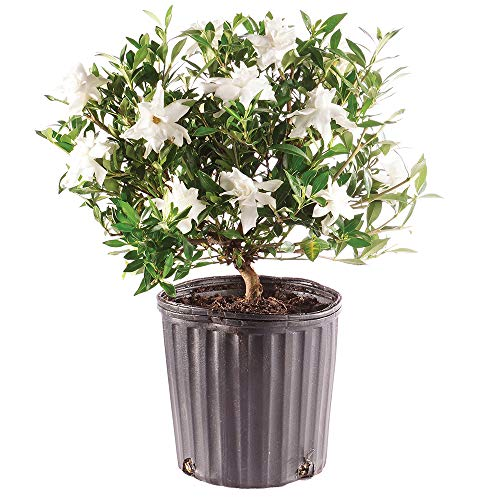 Brussel's Bonsai Live Gardenia Outdoor Bonsai Tree - 4 Years Old 6' to 8' Tall with Plastic Grower Pot, Medium,