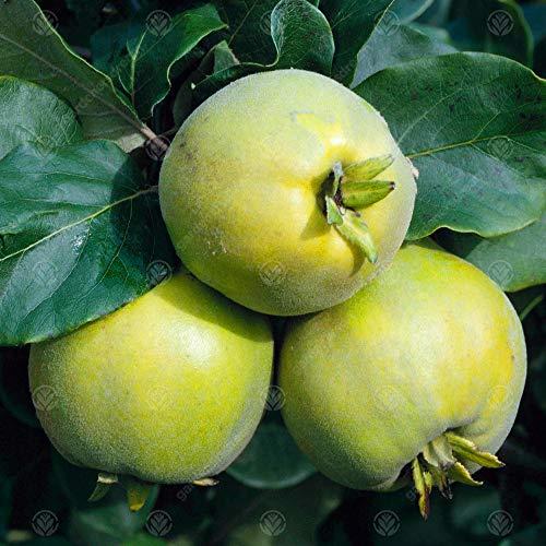 Quince 'Vranja' | Quince Fruit Tree | Garden Fruit Tree | 4-5ft