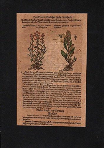 Fuchssches Greiskraut herbs Herbal Kräuter Kräuterbuch Mattioli