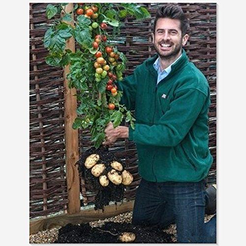 Ernte Tomtato Samen Beide Tomaten und Kartoffeln von dieser einzigartigen Anlage! All Natural - 5 PC / Los