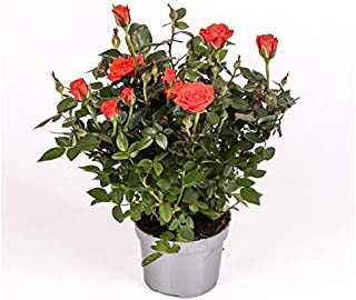 comprar comparacion Rosal mini - PACK 6 unidades - maceta 10,5cm. - altura total aprox. 30cm. - planta viva - (envíos sólo a península)