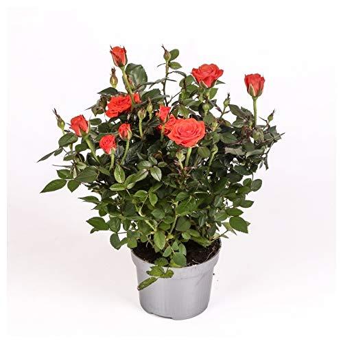 Rosal mini - PACK 6 unidades - maceta 10,5cm. - altura total aprox. 30cm. - planta viva - (envíos sólo a península)