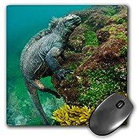 3D Rose'Marine Iguana Underwater. Fernandina Island Galapagos Ecuador.' Matte Finish Mouse Pad - 8 x 8' - mp_228952_1 [並行輸入品]