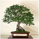 ScoutSeed 10 semillas de Zelkova serrata, olmo japonÃs, semillas de bonsai C