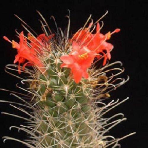 Mammillaria poselgeri exotique coussin floraison aloe cactus rare graines 50 graines