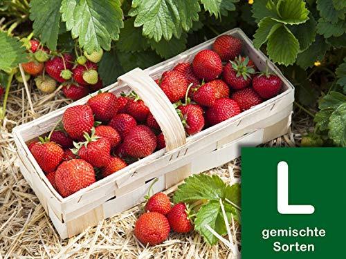 Erdbeerprofi - Erdbeer Anbau-Set L: 40 Erdbeerpflanzen inkl. Dünger - 4 Erdbeersorten: Daroyal, Korona, Malwina & Ostara - Langzeitdünger für Erdbeerpflanzen - Anbau-Set mit 40 Erdbeergrünpflanzen