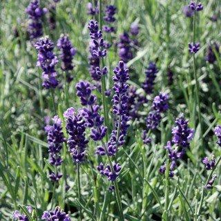 Lavendel 'Hidcote Blue' - Lavandula angustifolia 'Hidcote Blue' - Duftpflanze