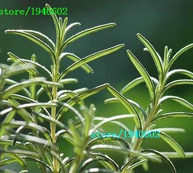 100 Rosemary Seeds Bricolage Jardin des plantes faciles à cultiver Herb, graines de légumes sains,