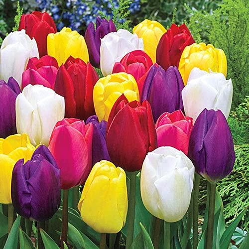 Bulbos de Flores (10 X Tulipanes Triumph en mezcla)