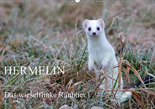 Hermelin - das wieselflinke Raubtier (Wandkalender 2021 DIN A2 quer)