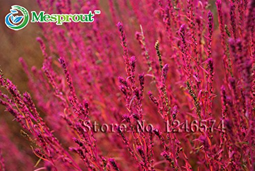 Semences de l'herbe vivace 500PCS Herbe buisson ardent Kochia Scoparia Seeds Red Garden ornemental grandir facile