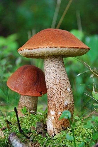 weißstielige Rotkappe–Myzel–Pilze Forest–Grow Your Own Pilze.
