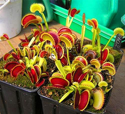 Nieuw 2019! Insectenetende Pot van Dionaea Giant Clip Flytrap bonsai Vleesetende Plant gratis verzending, 200 stuks/stuk