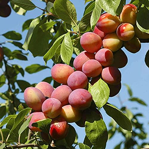 Semillas Las semillas de nectarina, 5Pcs / Bolsa nectarina Productivos semillas de árboles frutales adaptados Bueno no-GMO para jardinería Ideal regalo al aire libre