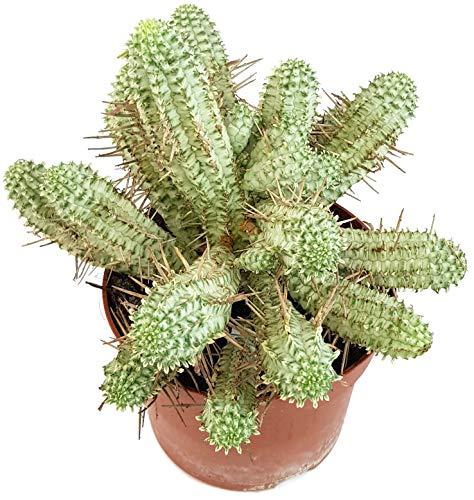 Fangblatt - Euphorbia Mammillaris f. variegata - weiße Sukkulente - pflegeleichte Zimmerpflanze ca. 20-25 cm hoch