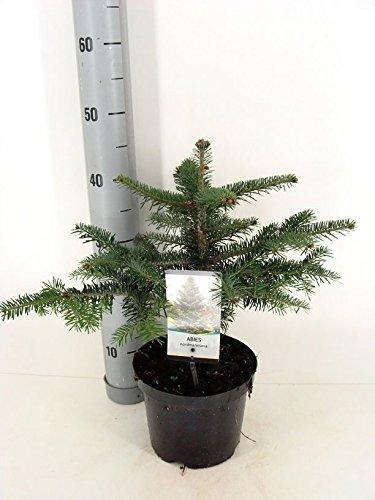 Nordmanntanne beliebter Weihnachtsbaum - Abies nordmanniana - 40-50cm im 3Ltr. Topf