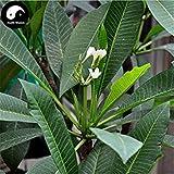 ASTONISH Erstauner SEEDS: Kaufen Plumeria Rubra Baumsamen 30pcs Pflanze Yolk Blume für Ei-Blumen