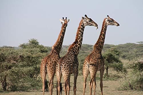 CYKEJISD Puzzle 1000 Pezzi Animali della Fotografia Animale Dell'Africa 3D Puzzle Fai da Te Kit Giocattolo di Legno Unico Regalo Home Decor 75X50Cm