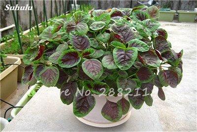 Herb Amaranthus Tricolor Seeds 50 Pcs graminée Semente non Ogm végétale comestible Bonsai Plante en pot sain sucré 5