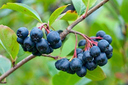 Apfelbeere kleine dunkle essbare Früchte - Aronia prunifolia 'Viking' - 90-110cm Topf 2 Ltr.