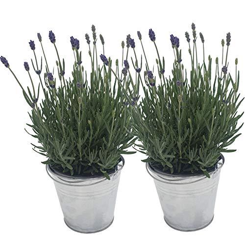 2 echte Lavendelpflanzen im Zinkeimer: Lavendelkräuter im 12 cm Topf - winterharter Lavendel für lila Lavendel-Deko | frische Duftpflanzen | Lavendel mehrjährig | Lavendel Pflanze winterhart