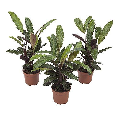 Plantas de interior de Botanicly – 3 × Calathea – Altura: 32 cm – Calathea Rufibarba