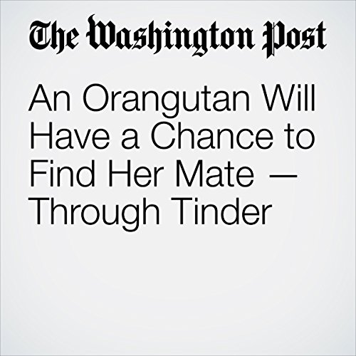An Orangutan Will Have a Chance to Find Her Mate — Through Tinder | Amy B. Wang
