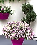 Qulista Samenhaus - Geranie 'Mosquitaway Louise' rosa, Mücken Vertreiben, nach Zitrone duftend, Pelargonium pflegeleichte blühende Pflanze Blumensamen winterhart mehrjährig auf Terrasse/Balkon