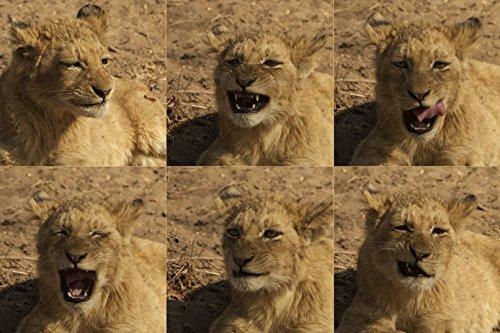 Löwen-Kalender 2016, Lion Calendar 2016, Lion Calendrier 2016: Löwen-Fotos aus Südafrika, Lions from South Africa