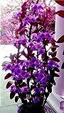 Swansgreen el envío! Enanas dendrobium semillas de flores de orquídeas raras plantas tropicales ornamentales miniatura crecimiento natural del árbol, 10 piezas de 12