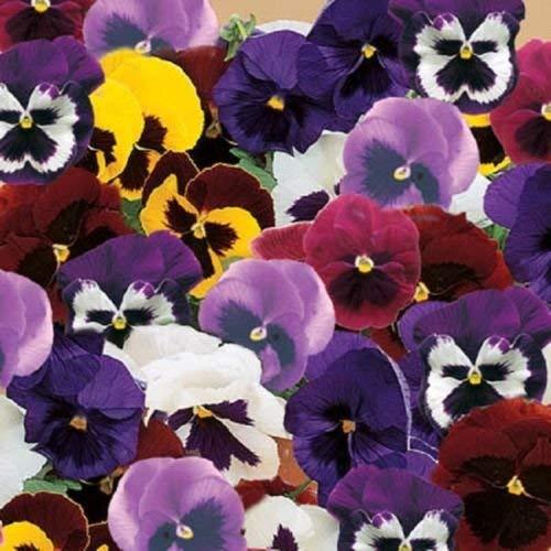 50 graines Pansy Majestic géant II Mix Graines de fleurs