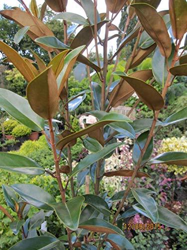 Magnolia grandiflora Alta - Magnolie Alta