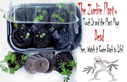 See Video On The Left Of The Zombie Plant That &Quot;Plays Dead&Quot; When You Touch It! Then Grow Your Own! Unique &Amp; Fun Interactive Zombie Hallowen Themed Gift And This Christmas Give Someone Special A Whole Bunch Of Chuckles And Fun Whenever They Nudge This...